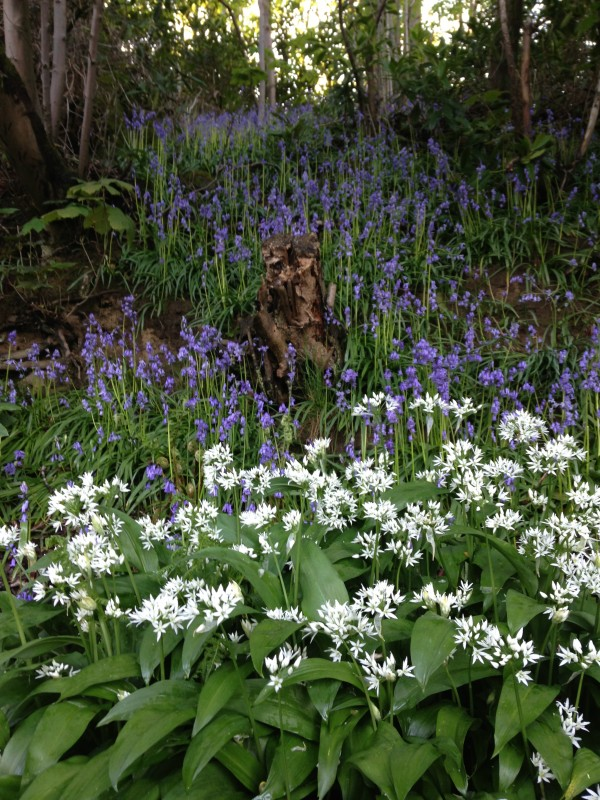 The Wild Garlic and Bluebells in May