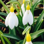Yellow snowdrops