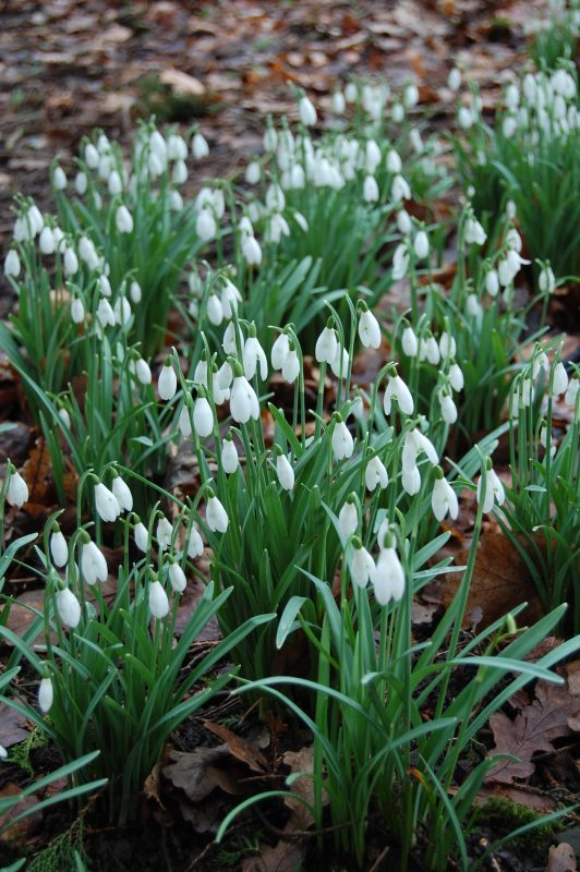 Snowdrops in the woodland walk