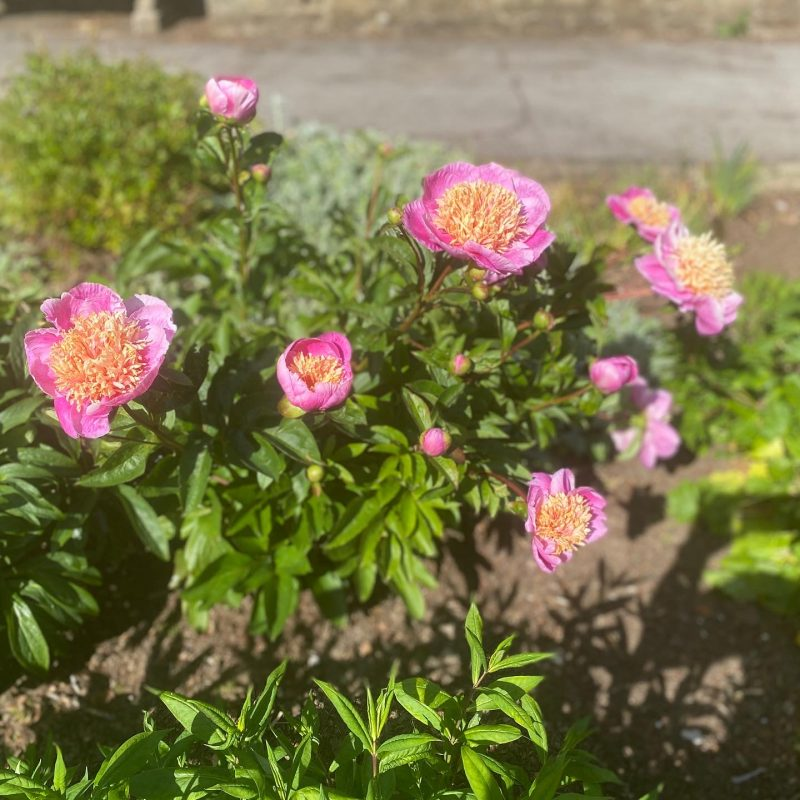 Peonies in the herbaceous border
