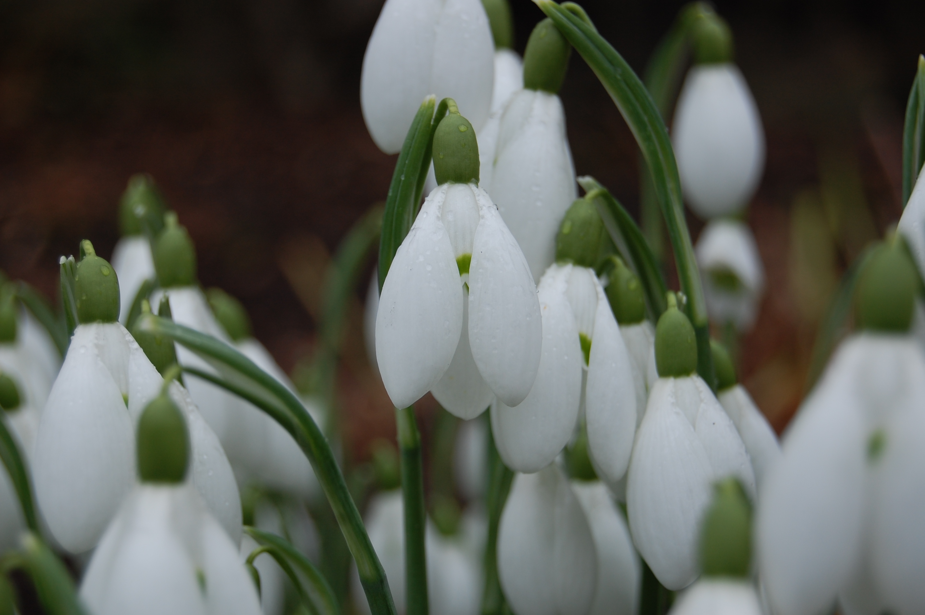Snowdrops in the borders
