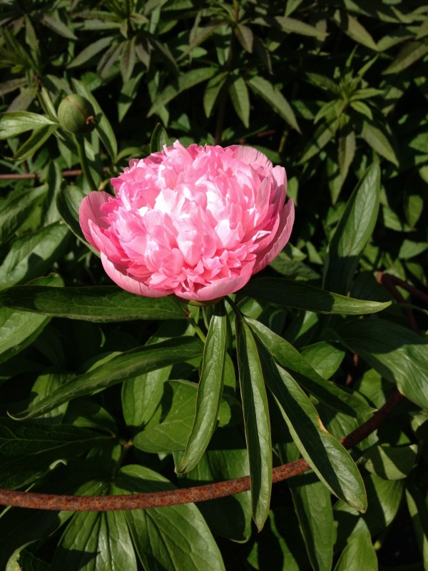 Peony in the herbaceous border