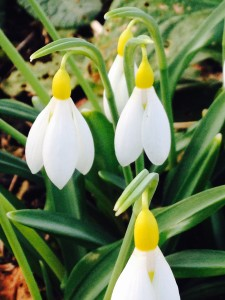 Yellow snowdrops in the borders